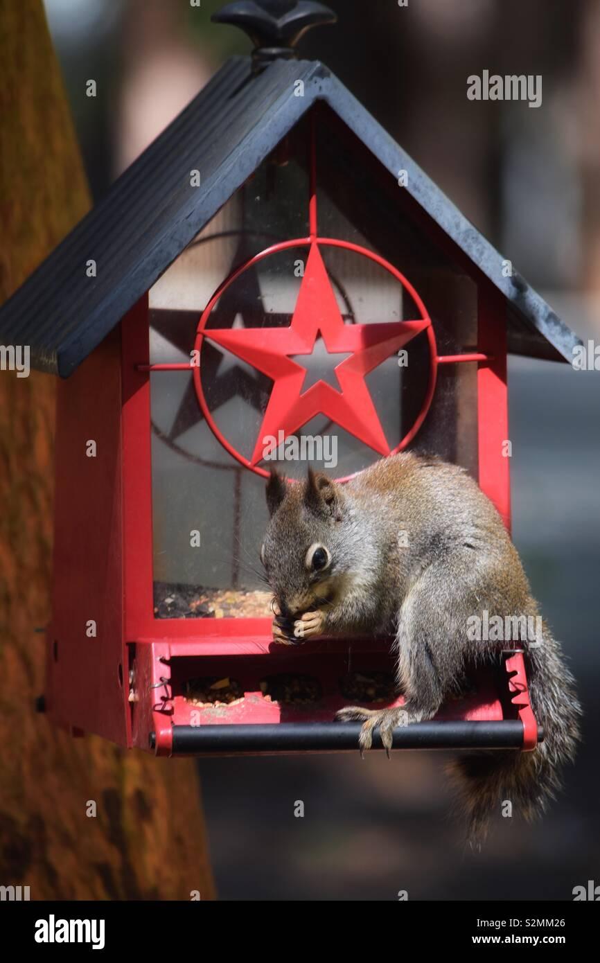 Una ardilla rascally invadió un rojo- protagonizó comederos s munches pacíficamente en la semilla de aves. Imagen De Stock