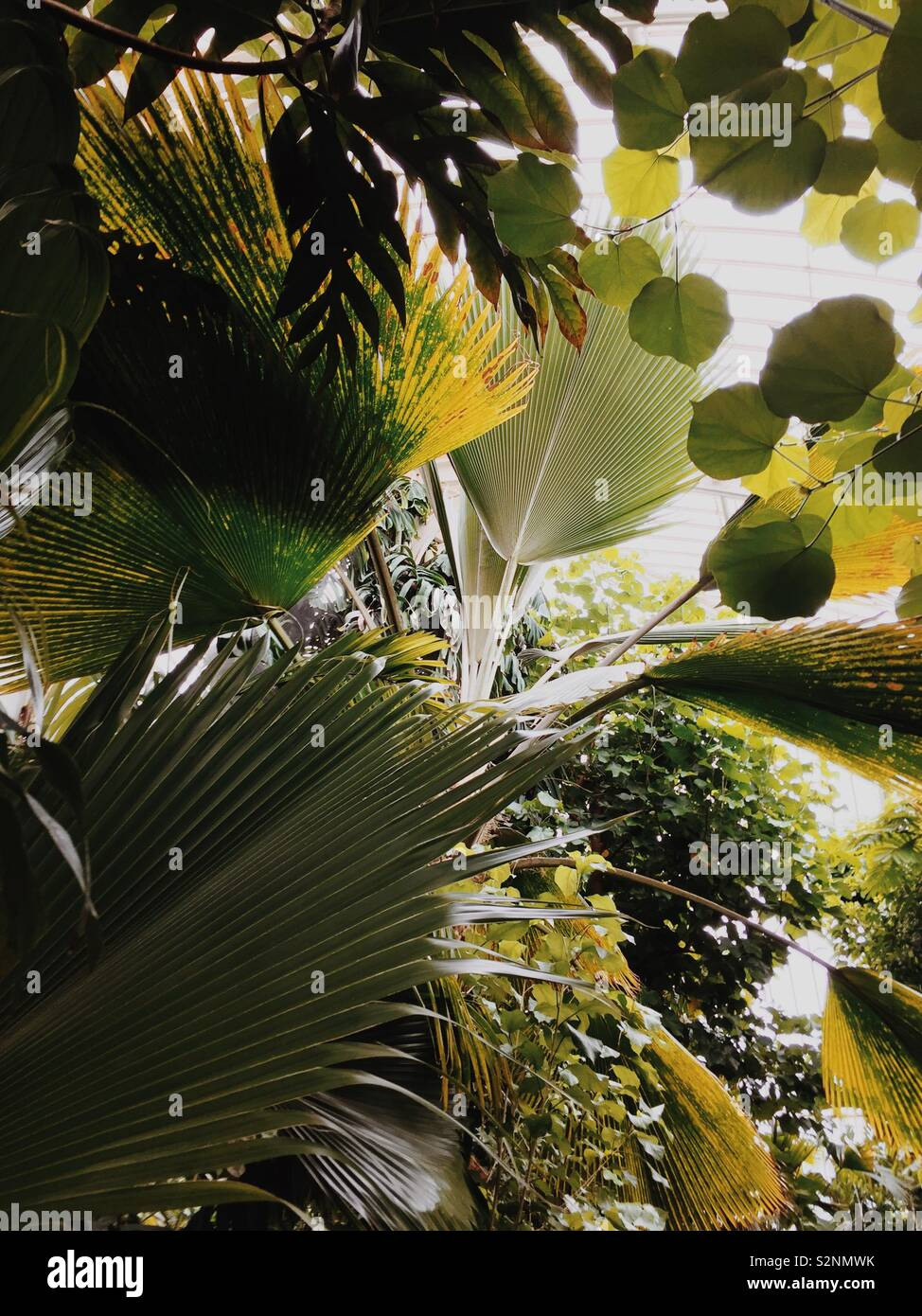 Hojas de palmera gigante en invernadero en el Jardín Botánico de Kew Foto de stock
