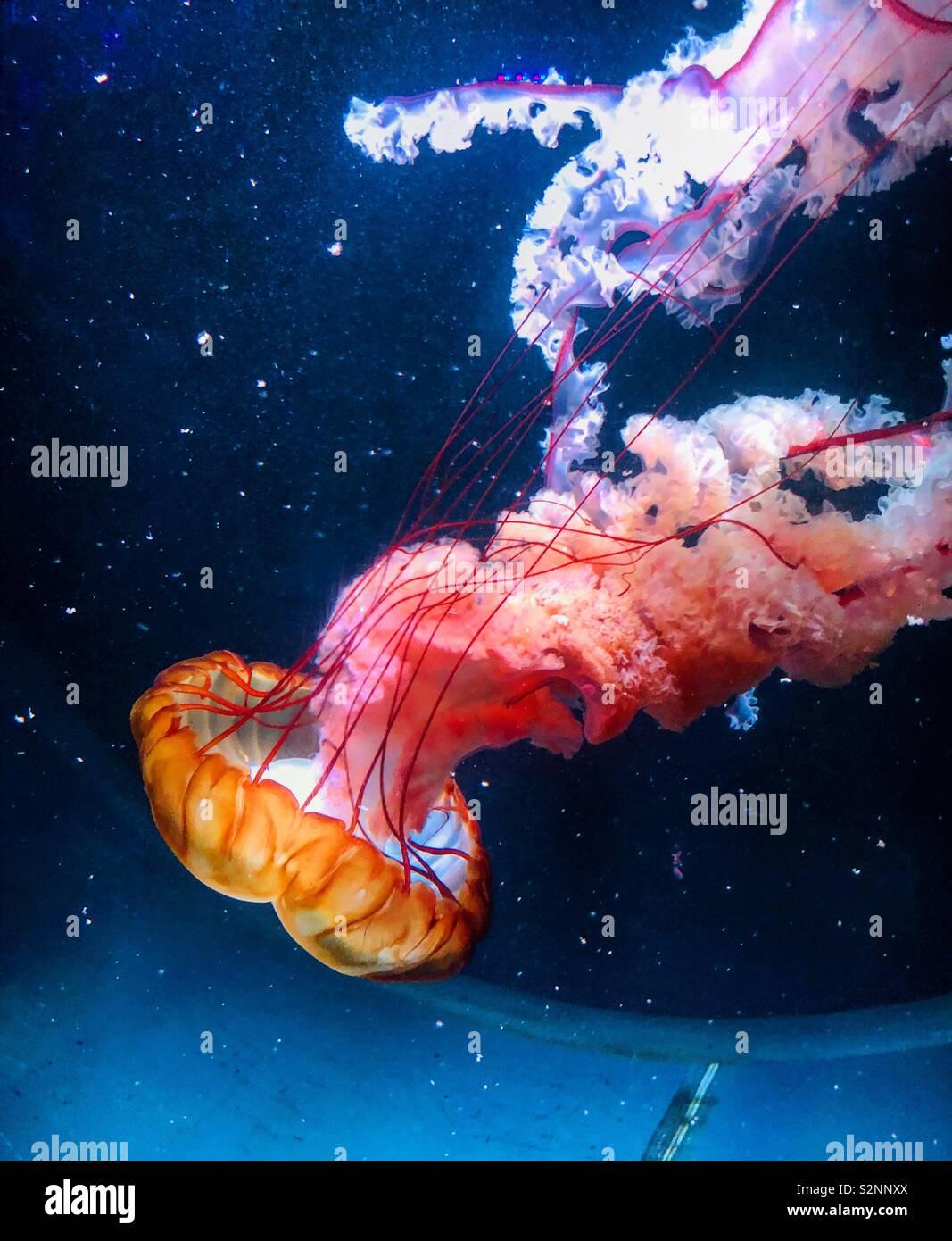 Medusas en el acuario de Brighton Foto de stock