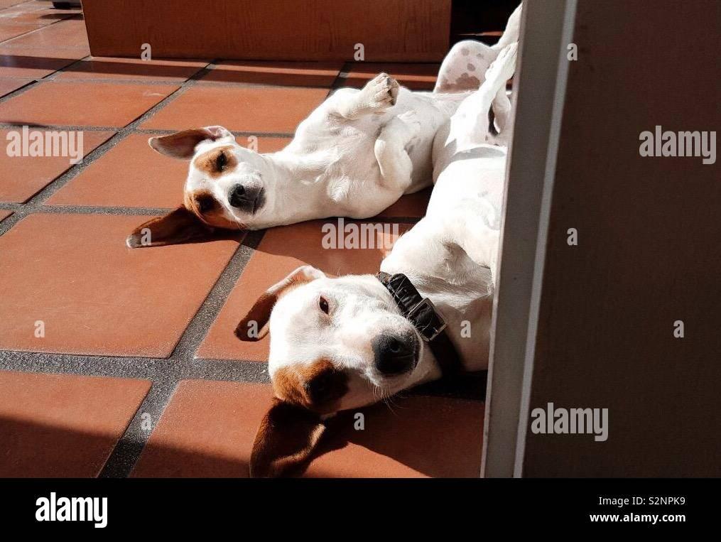 Jack Russell Terrier Foto de stock