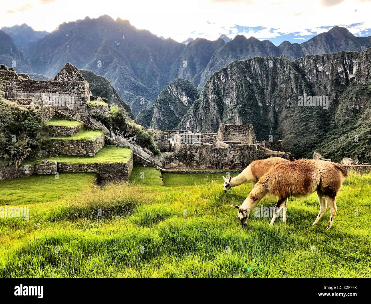 Alpacas en Machu Picchu Foto de stock