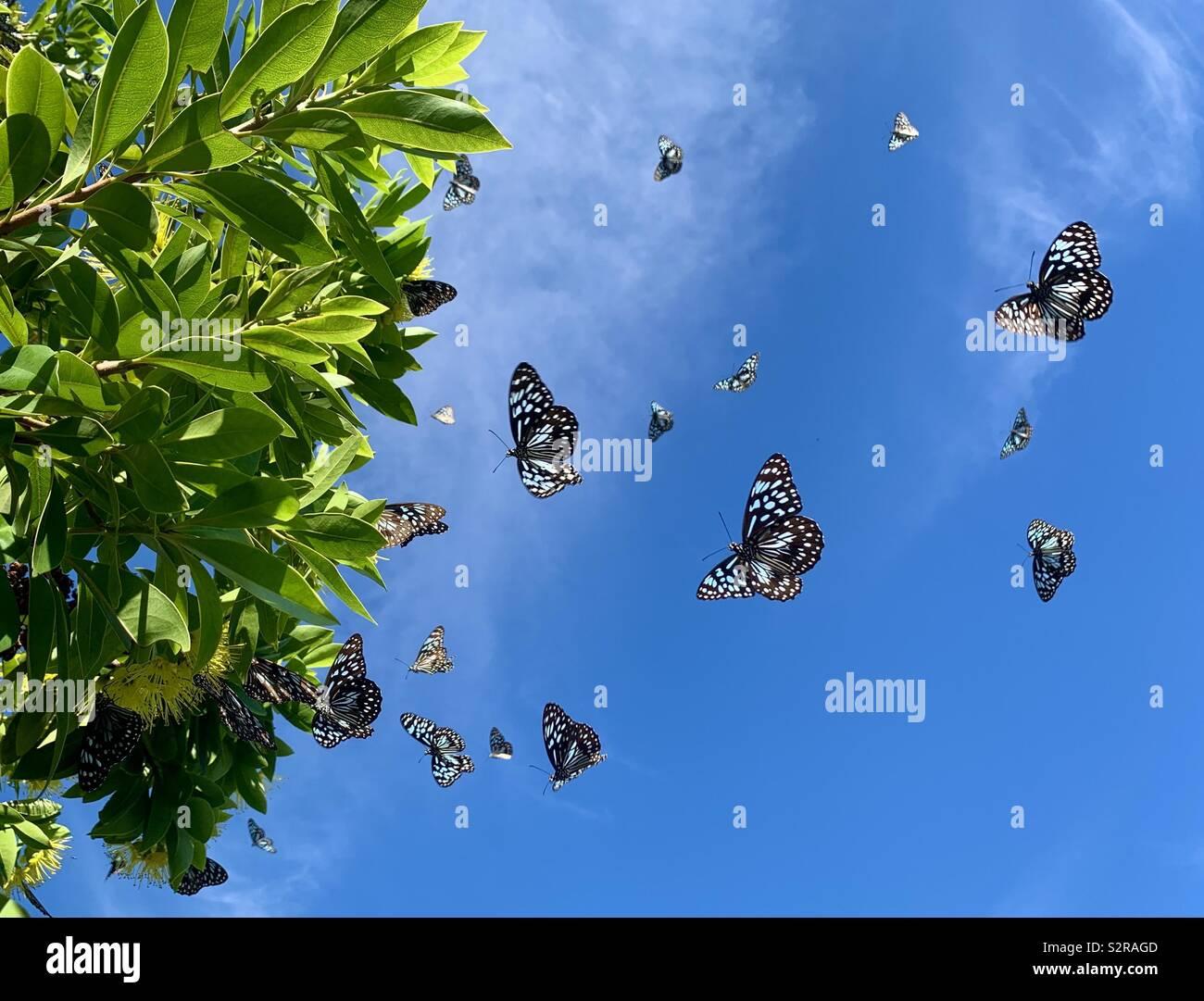 Blue Butterfly - hamata Tirumala Tigre Foto de stock