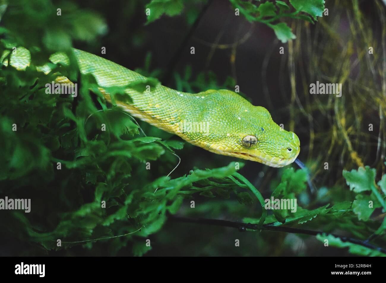 Green Tree python persiguiendo a su presa a través de la maleza y los árboles. Foto de stock