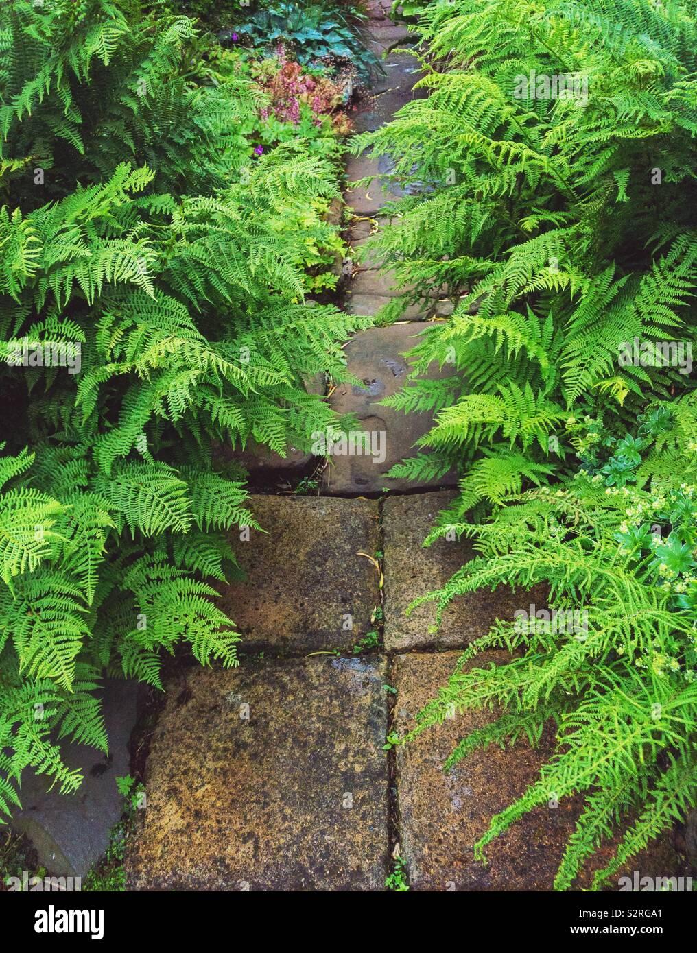 Ruta jardín pavimentado con la siembra de helechos en los lados. Foto de stock