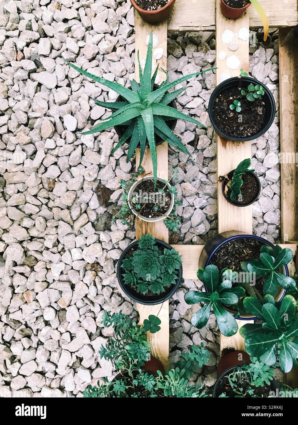 Grupo de plantas suculentas en una bandeja de madera y suelo de grava (vertical). Aloe, hecheveria, y otros. Oaxaca de Juárez, Oaxaca, México. 4 de julio de 2019 Foto de stock