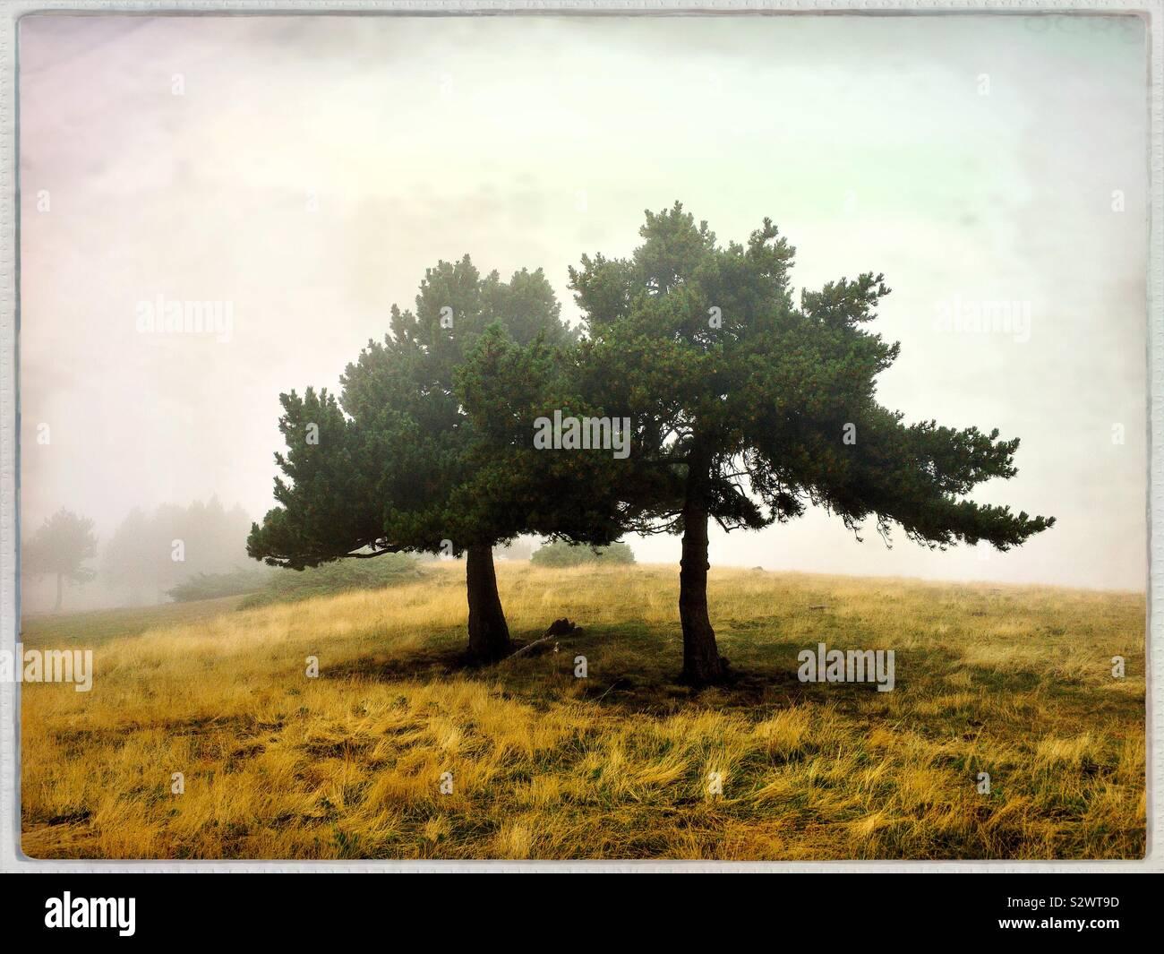 Dos árboles Foto de stock
