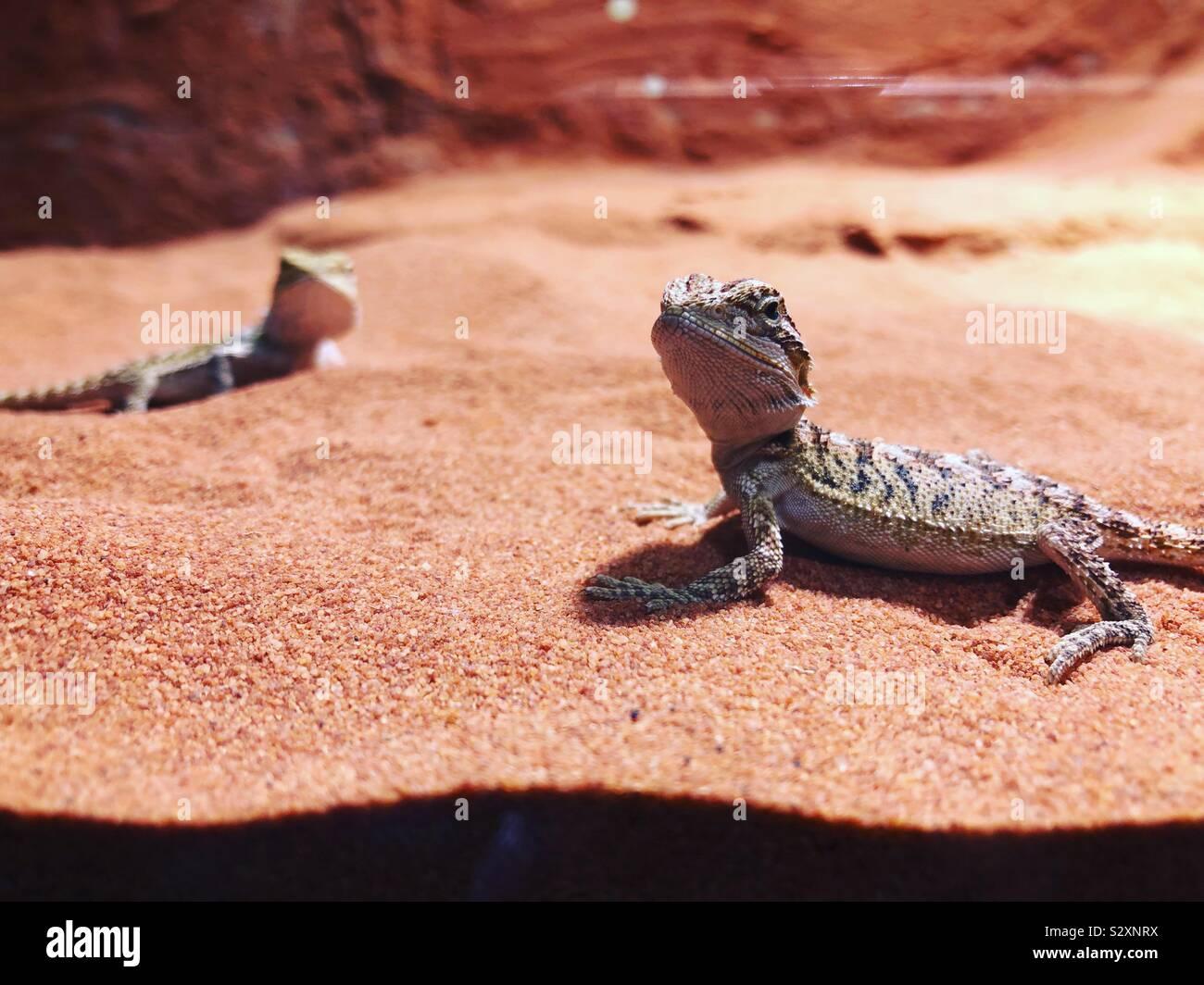 Joven barbudo dos dragones en su terrario Foto de stock