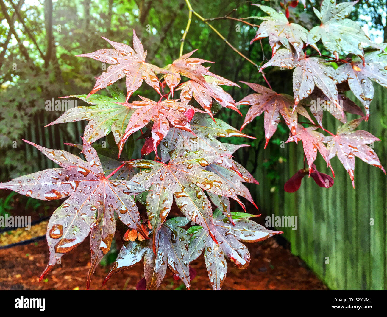 Coloridas hojas de arce rojo y verde durante la temporada de verano. Están cubiertos de gotas de agua. Foto de stock