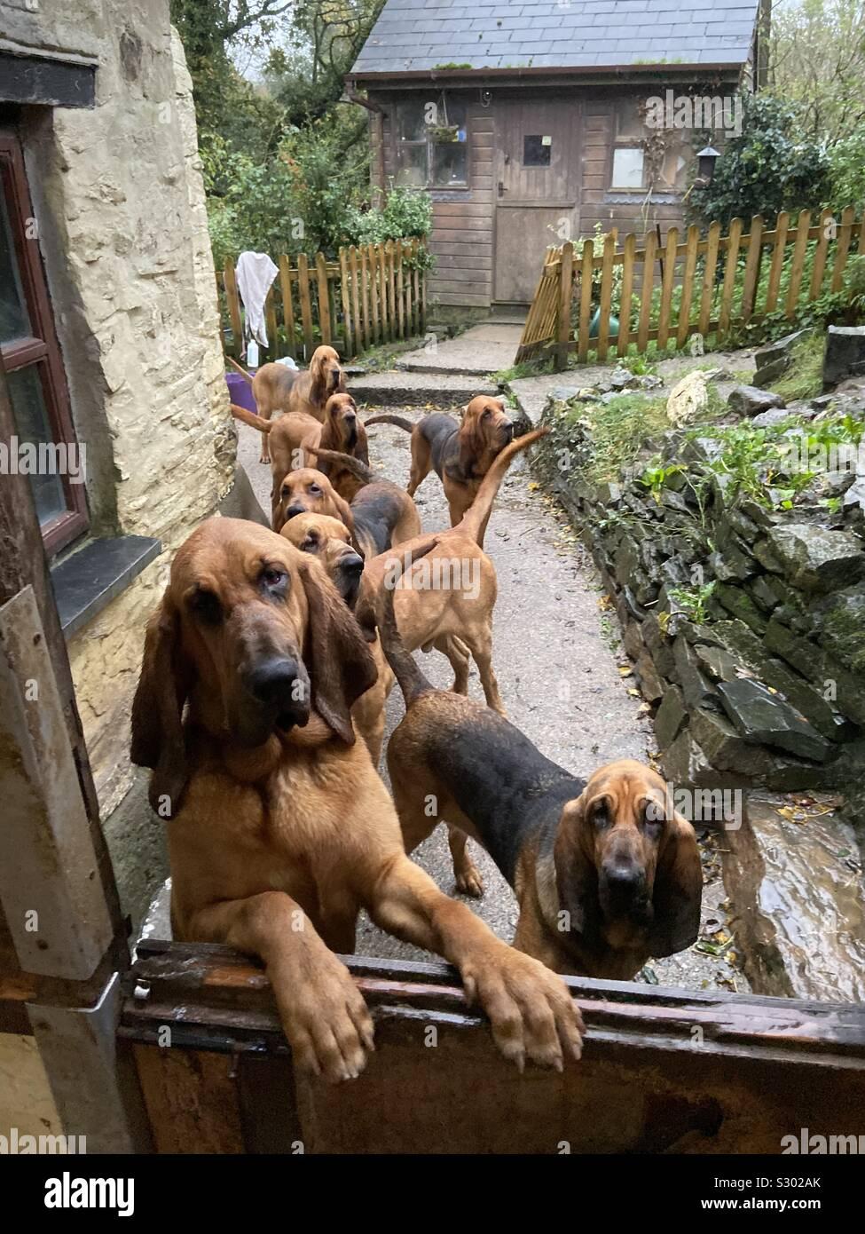 Bloodhound perros haciendo cola para el desayuno Foto de stock