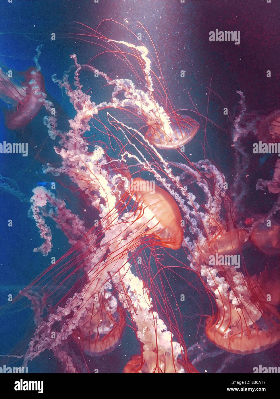 Medusas en el Kamogawa Sea World, Chiba, Japón (colores cambiados) Foto de stock