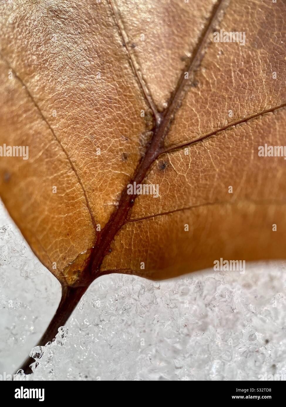 un primer plano de una hoja seca en la nieve durante los mares del invierno. Foto de stock