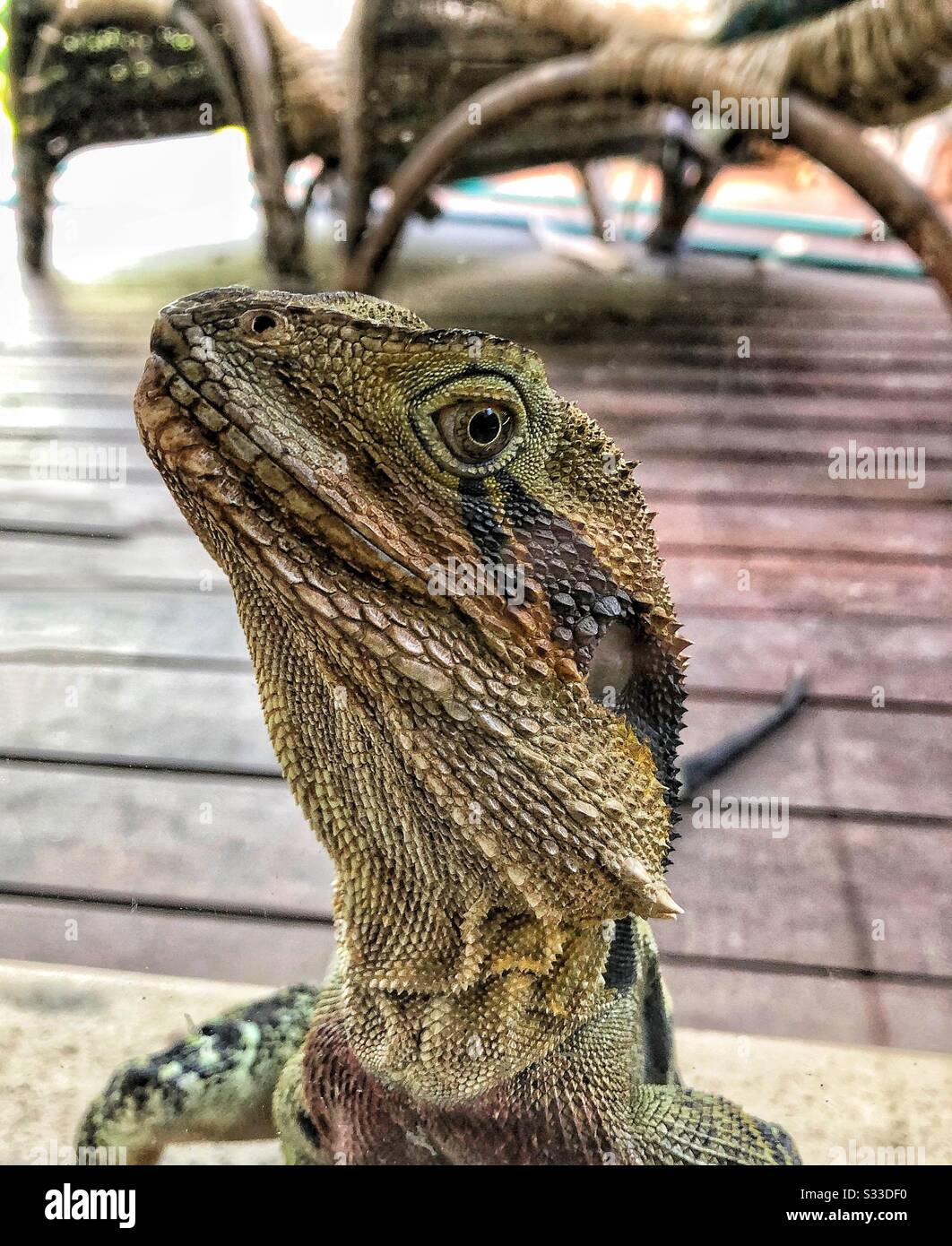 Dragón De Agua Australiano - Physignathus Lesueurii Foto de stock