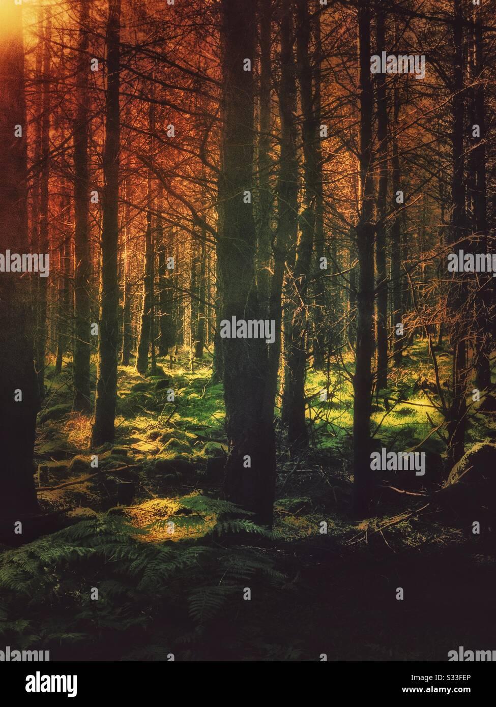 Luz solar nocturna en un bosque de coníferas. Foto de stock