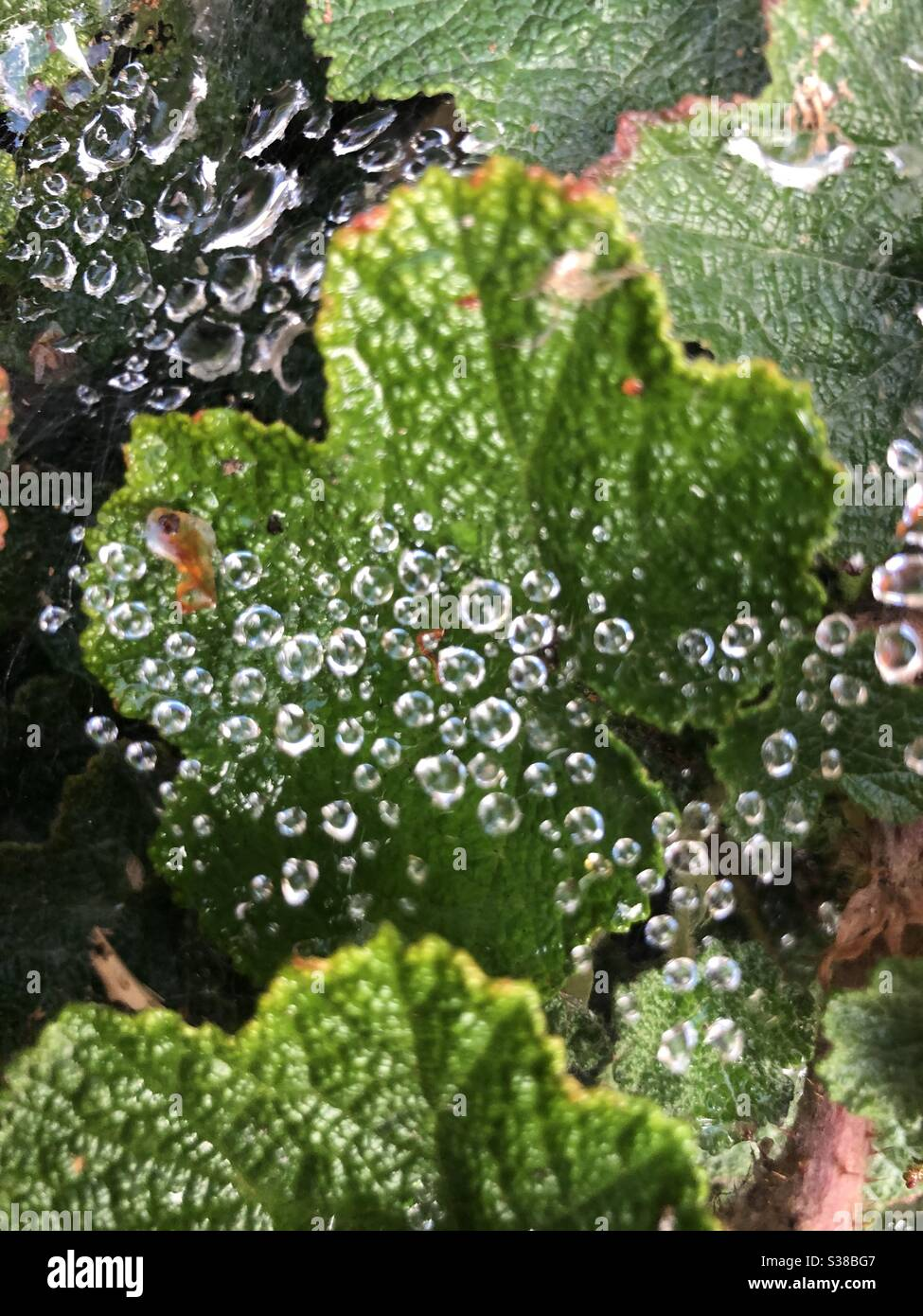 Telaraña con gotas de lluvia Foto de stock