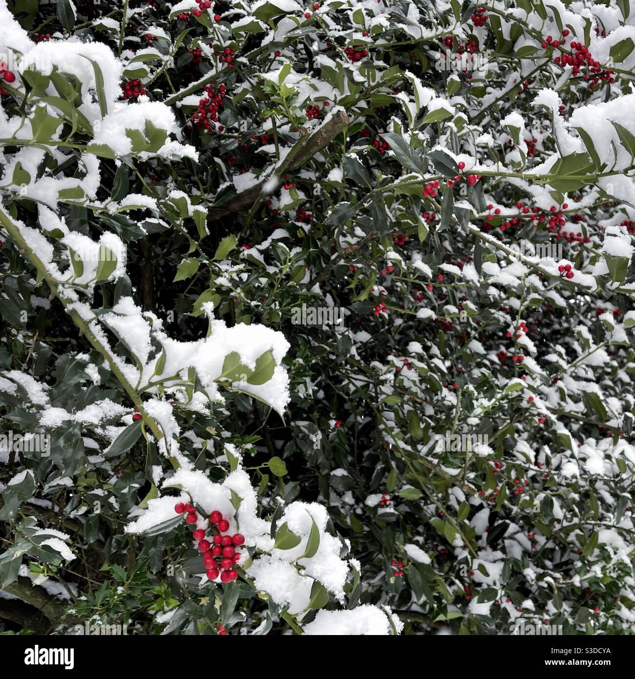 Árbol de acebo con bayas rojas bajo la nieve Foto de stock