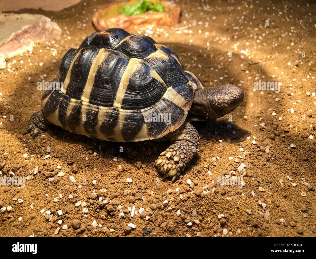 La tortuga Pet hermann disfruta de la luz de una lámpara de basking. Foto de stock