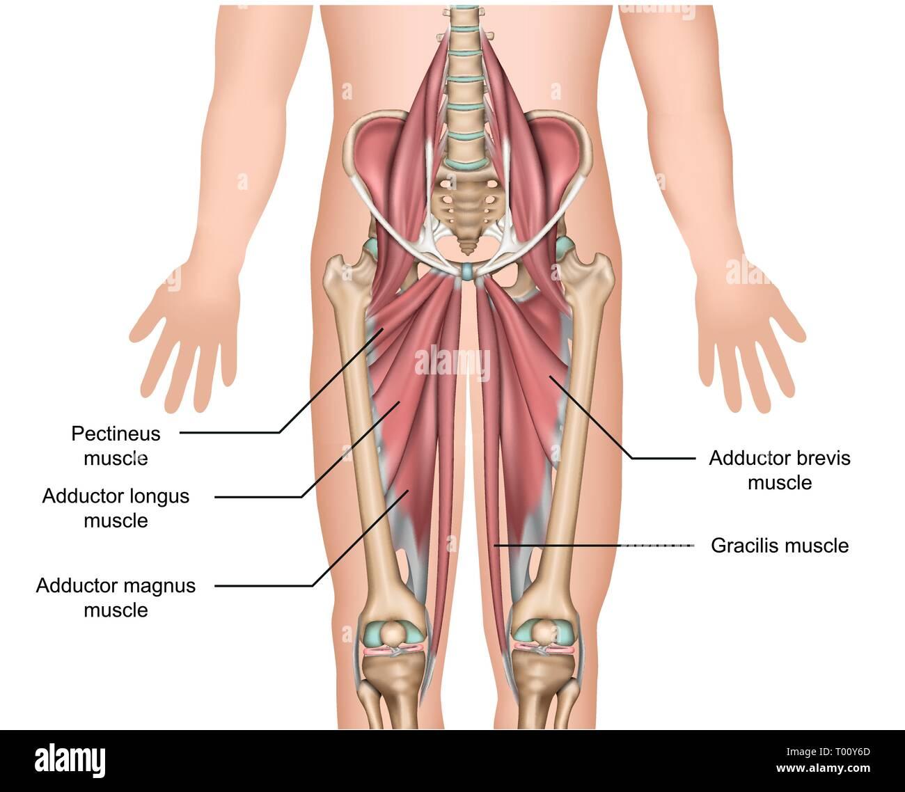 Músculos aductores Anatomía 3d medical ilustración vectorial sobre fondo blanco. Imagen De Stock