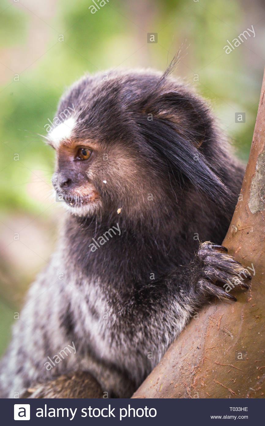 Preocupados de cara de mono. Pequeño mono en peligro de extinción. Frente a un joven mono. Fotografía en primer plano. Imagen De Stock