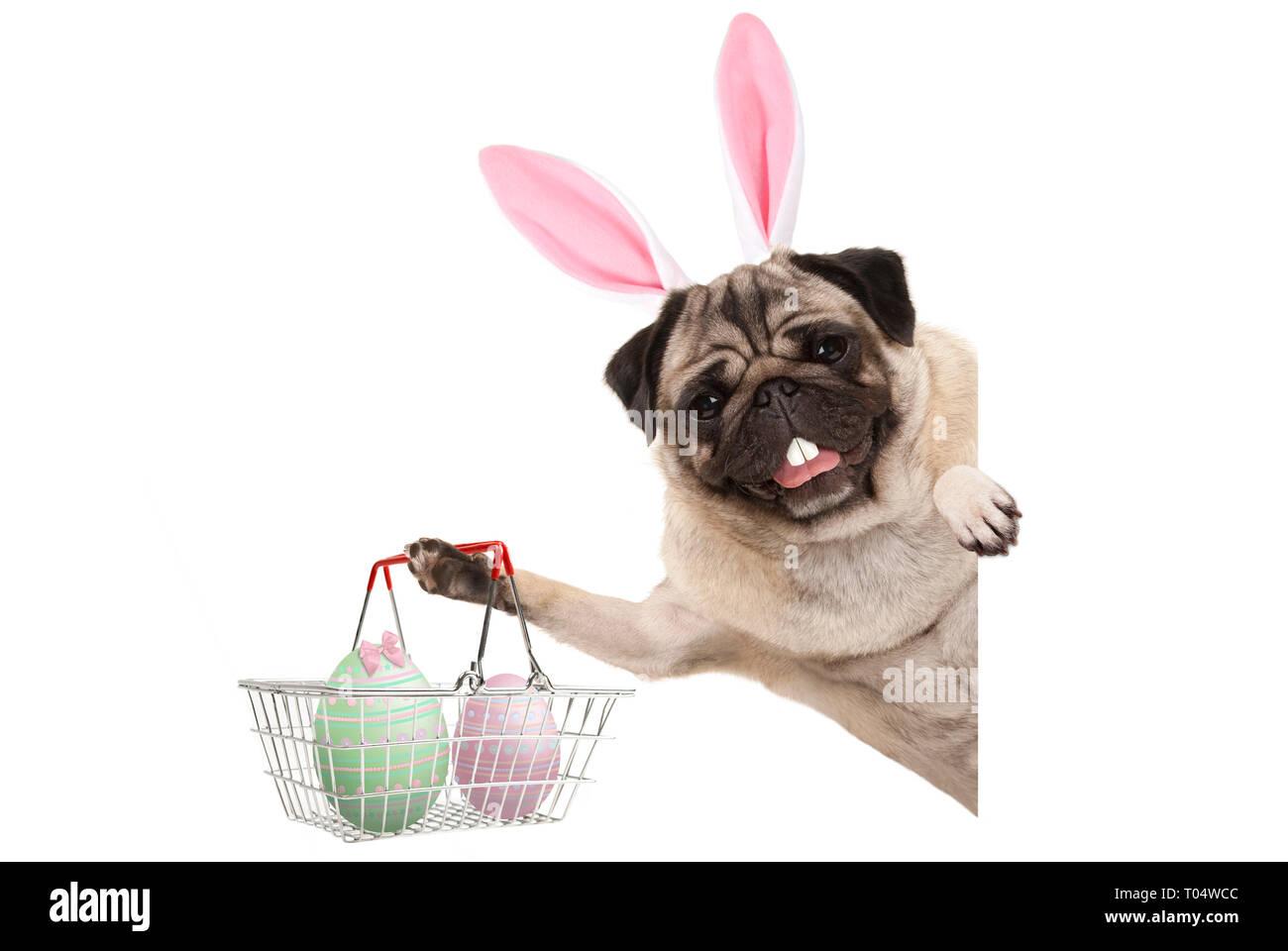 Conejito de Pascua feliz perro pug con dientes de conejo y pastel de huevos de pascua en la cesta metálica de alambre aislado sobre fondo blanco. Foto de stock