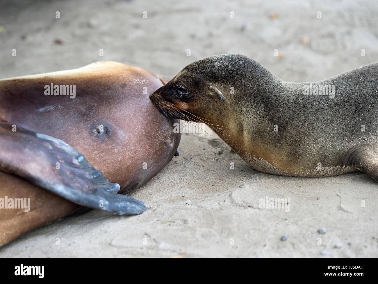 Cachorro de lobo de mar de Galápagos (Zalophus wollebaeki) el cochinillo, sellos del oído (familia Otariidae), de la isla Isabela, Islas Galápagos, Ecuador Foto de stock