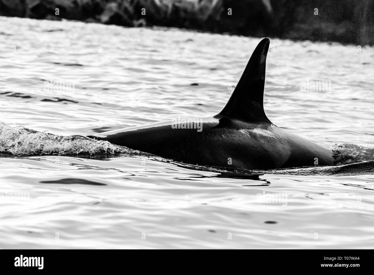 Killer whale (Orca) en el hábitat natural, la Península de Kamchatka (Rusia). Foto de stock