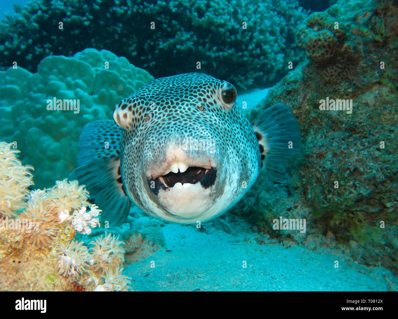 (Riesenkugelfisch Arothron stellatus), Rotes Meer, Aegypten Foto de stock