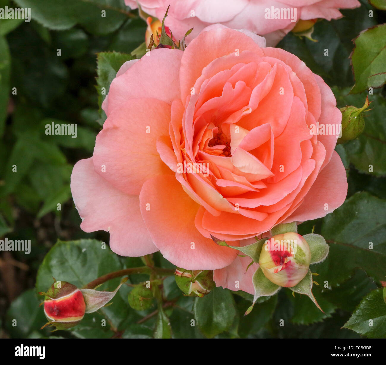 'Bonita', una naranja rosa rosa de color albaricoque en flor en 2018 Imagen De Stock