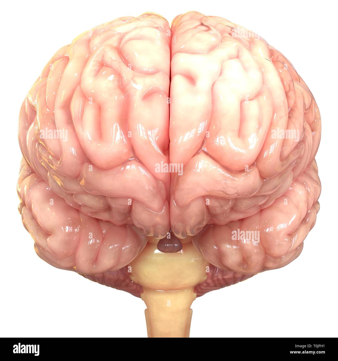 Anatomía del cerebro humano Imagen De Stock