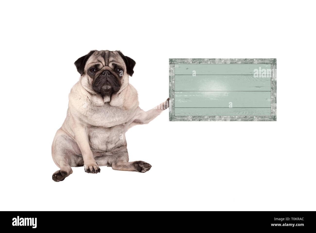 Lindo perrito pug malhumorada, sentándose en el suelo, sosteniendo capeado vintage letrero de madera verde, aislado sobre fondo blanco. Foto de stock