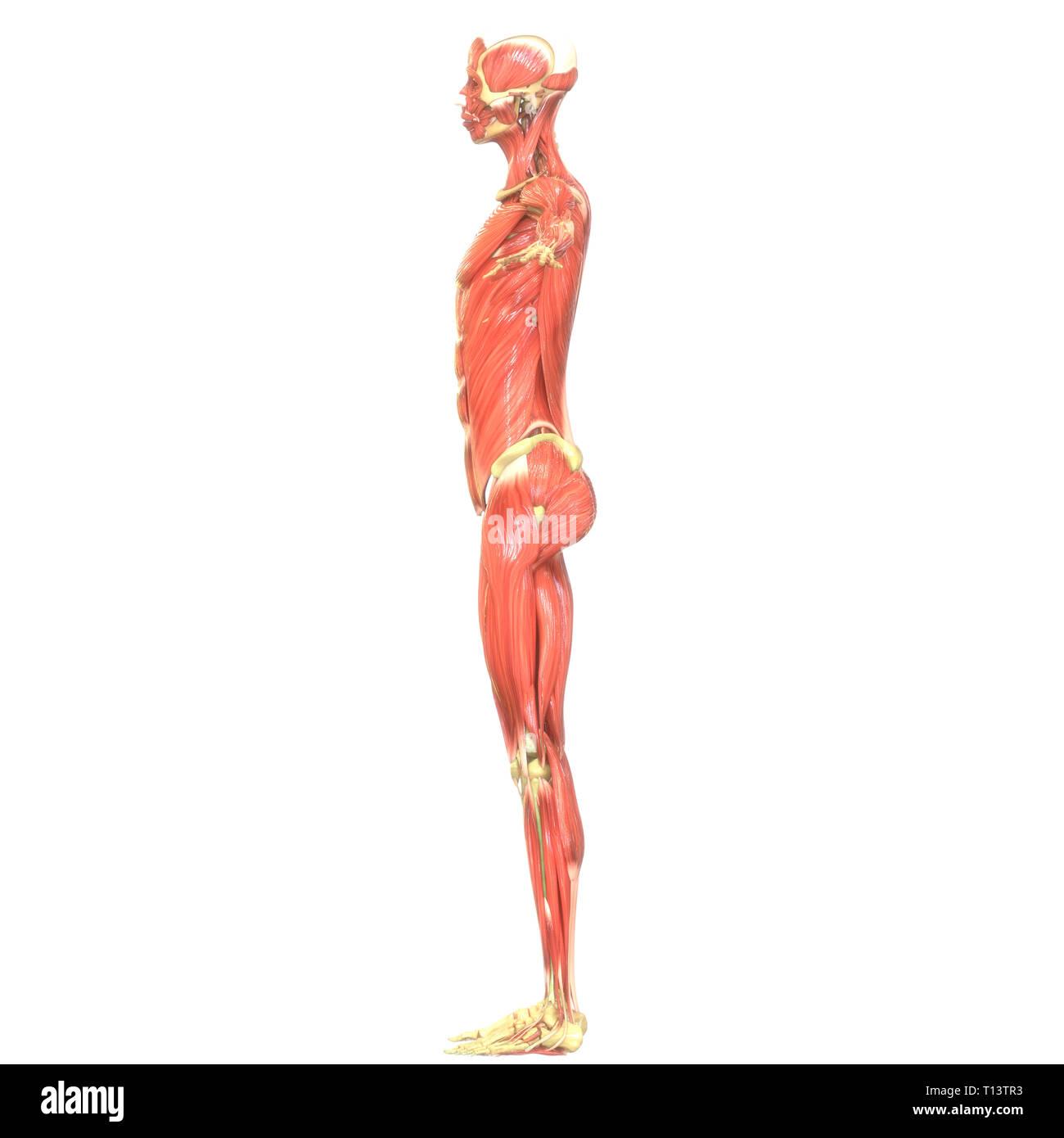 Anatomía Los músculos del cuerpo humano Imagen De Stock