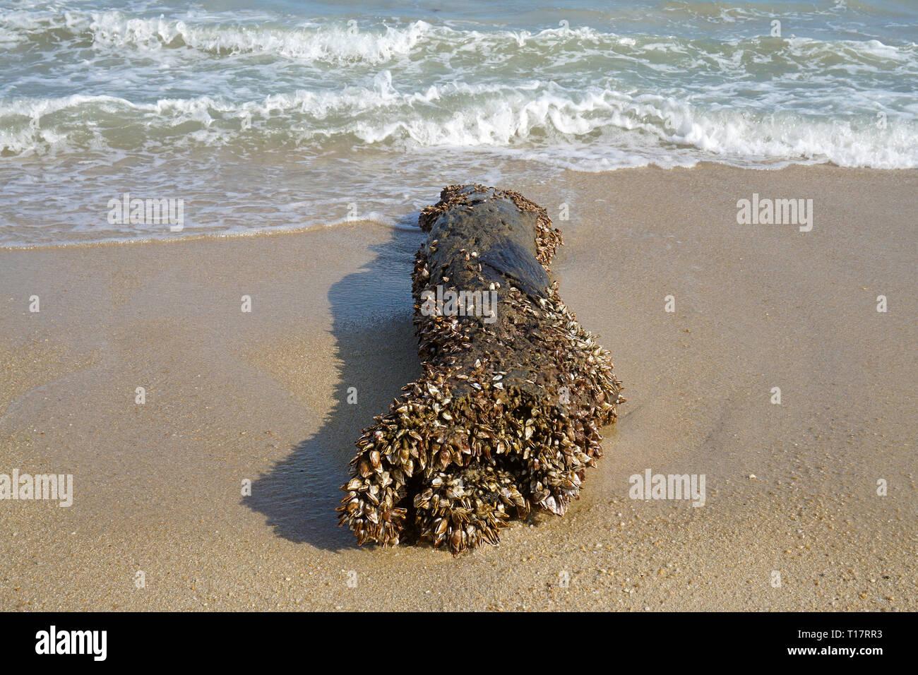 Percebes (Pedunculata) cubierto un arrastrados hasta el tronco, Lamai Beach, Koh Samui, en el Golfo de Tailandia, Tailandia Foto de stock
