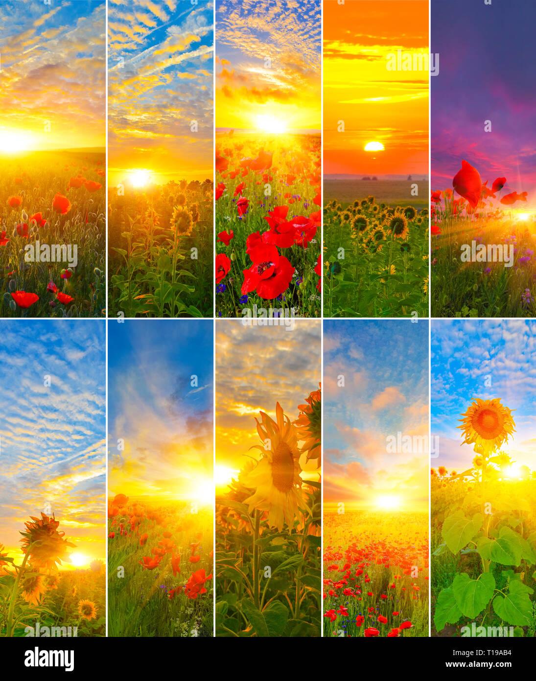 Colección de girasoles y amapolas con sol.Conjunto de antecedentes del amanecer. Imagen De Stock