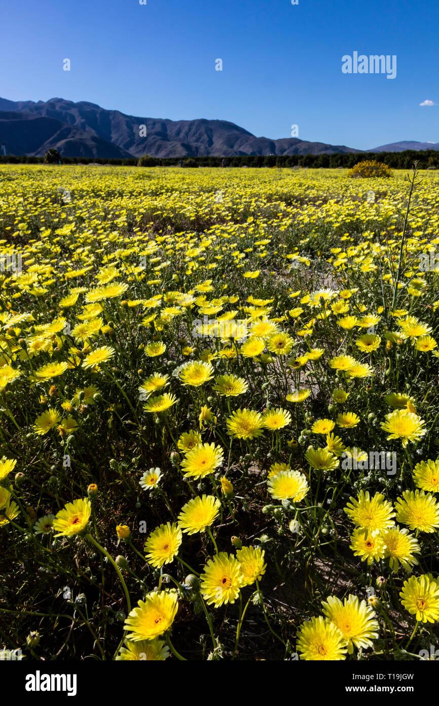 Un campo de California, el diente de león (Malacothrix californica) en Anza Borrego DESERT State Park, California Foto de stock