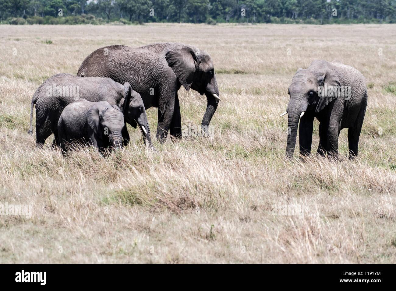 Familia de elefantes africanos alimenta de hierba seca en Maasai Mara Foto de stock