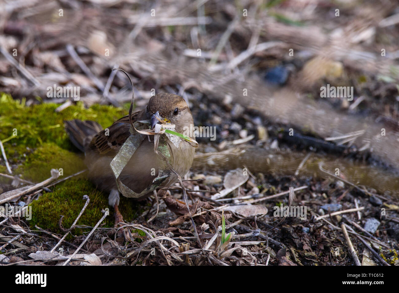 El enfoque selectivo foto. Ave hembra gorrión (Passer domesticus) con lente de plástico en su pico. Imagen De Stock
