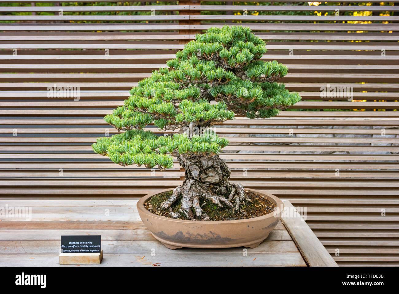50 años de pino blanco japonés bonsai en el Jardín Japonés de Portland. Foto de stock