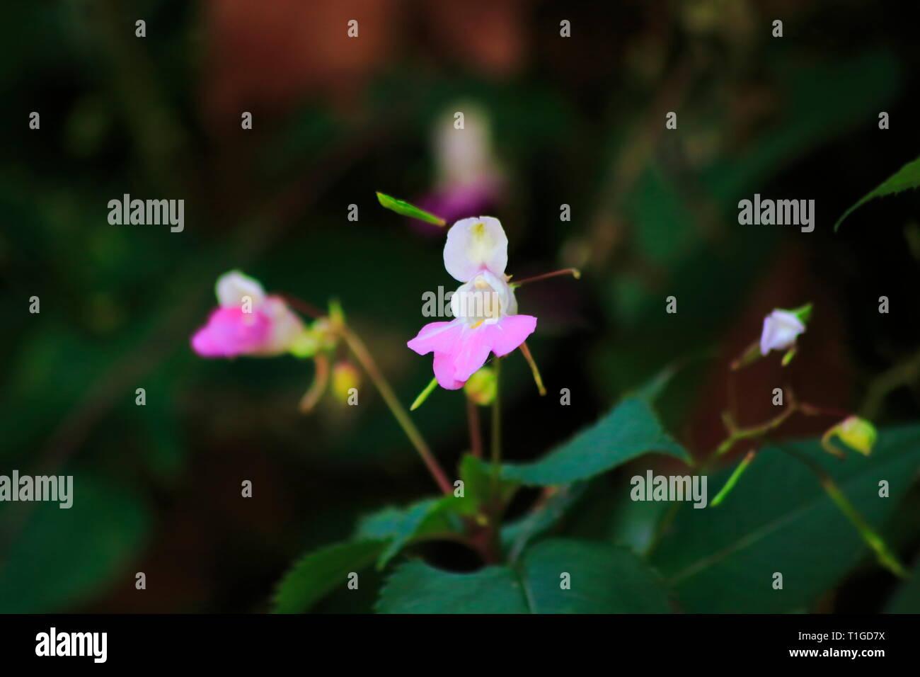 Rosa, lila farbenes Springkraut mit unscharfem dunklen Hintergrund Foto de stock
