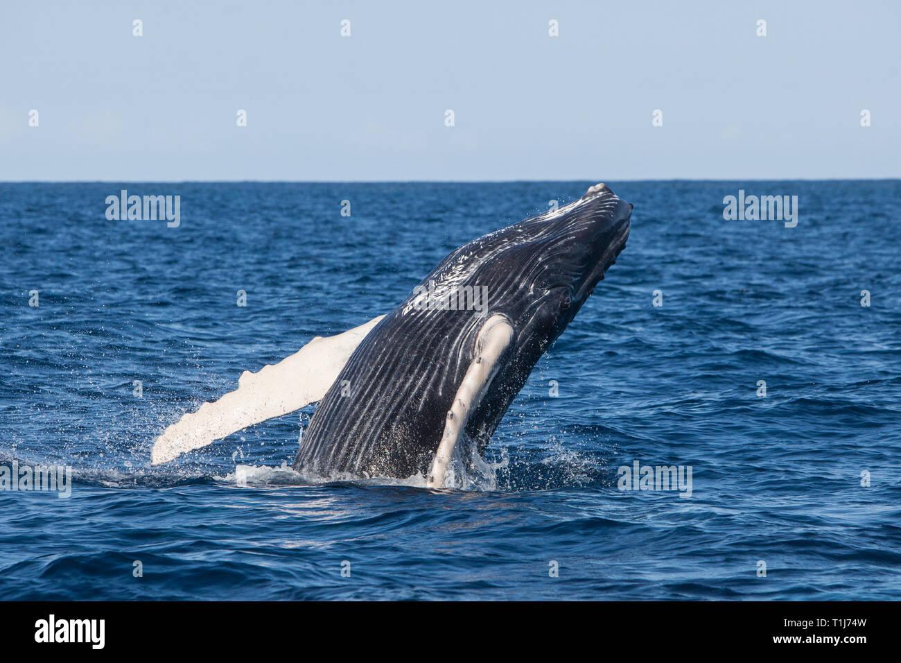 Una joven ballena jorobada, Megaptera novaeangliae, infracciones de las azules aguas del Mar Caribe. Foto de stock