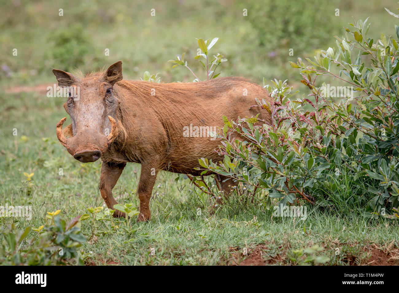 Warthog femenino caminar en la hierba en Welgevonden Game Reserve, Sudáfrica. Foto de stock