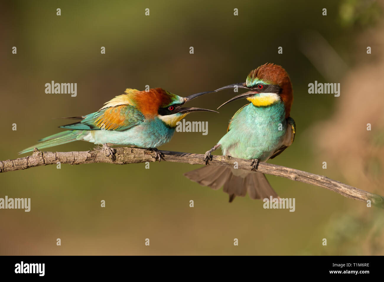 Pareja de abejarucos europeo, Merops apiaster combates. Dos coloridas aves de aspecto exótico tener un conflicto. Acción paisaje silvestre. Foto de stock