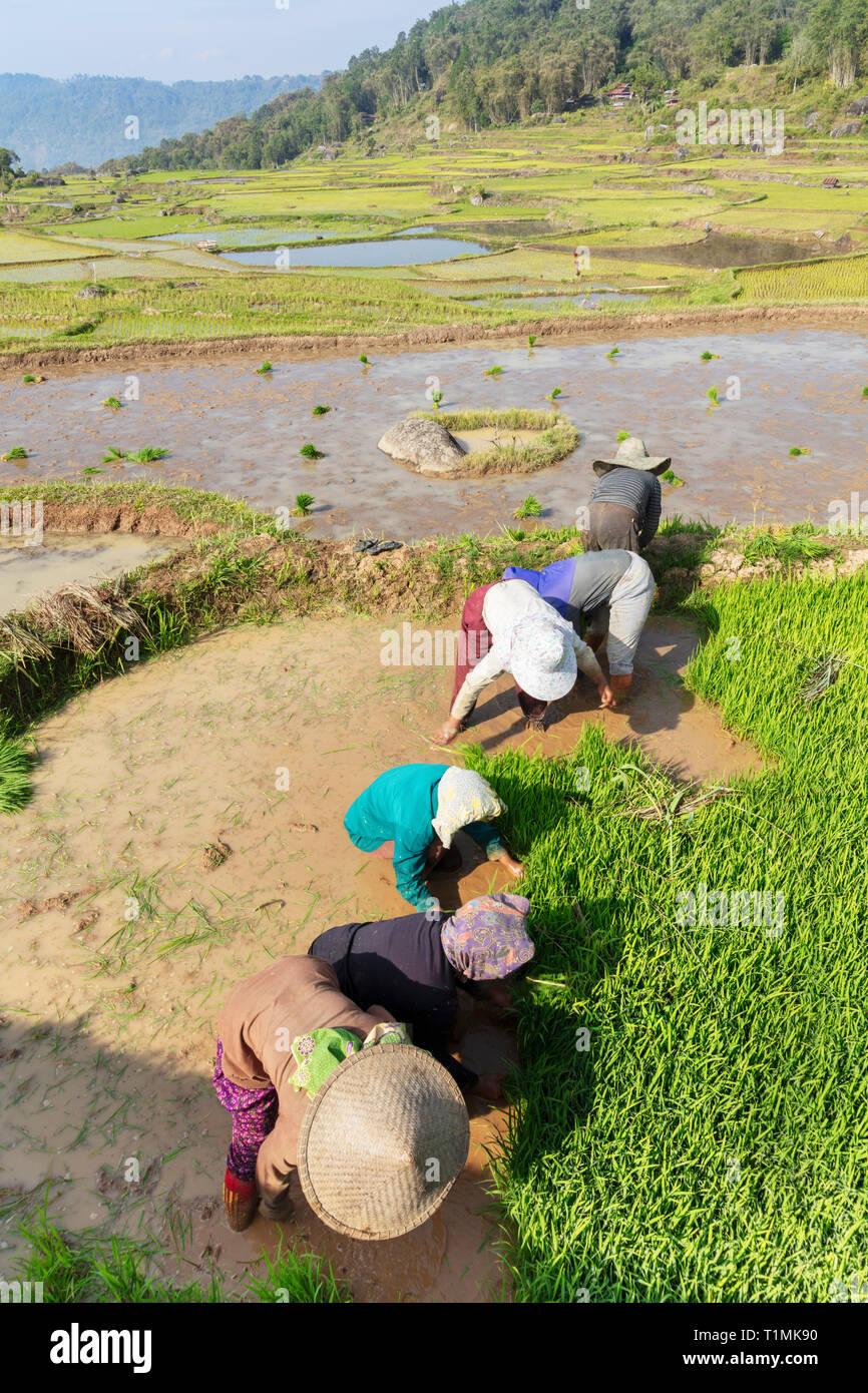 Los agricultores de arroz de plantar sus cultivos en terrazas en Toraja, Sulawesi Central, Indonesia Foto de stock