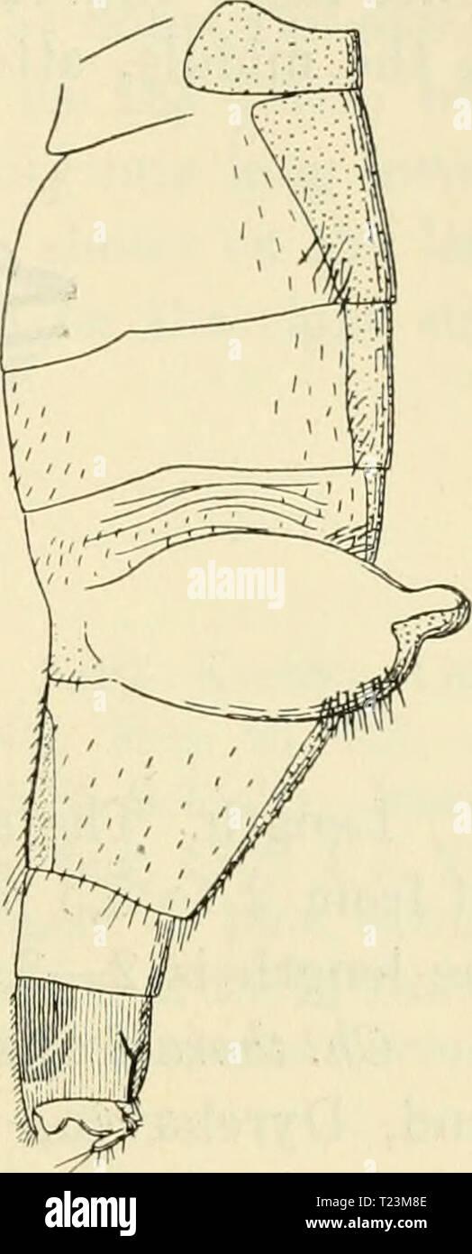 Imagen de archivo de la página 110 de Diptera danica géneros y Diptera danica: Géneros y especies de moscas hasta ahora encontradas en Dinamarca dipteradanicagen06lund Año: 1907 Fig. 39. Fig. 41. Fig. 40. Abdomen de Ch. thoracia $. Fig. 39 normalmente distendido, desde arriba; Fig. 40 con los sacos sacó, desde arriba; Fig. 41 la misma desde el lado. en la cara ventral del sexto segmento tiene una gran placa ventral chitinized; así como el conocido de un ventrite occurrenoe siich es muy rara entre los Phorids, su aparición aquí es, creo yo, debido a la peculiar construcción de abdomen. El vello abdom lateral Foto de stock