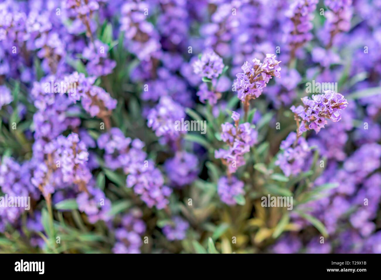 Violeta lavanda decorativo cerca de fondo texturado Imagen De Stock