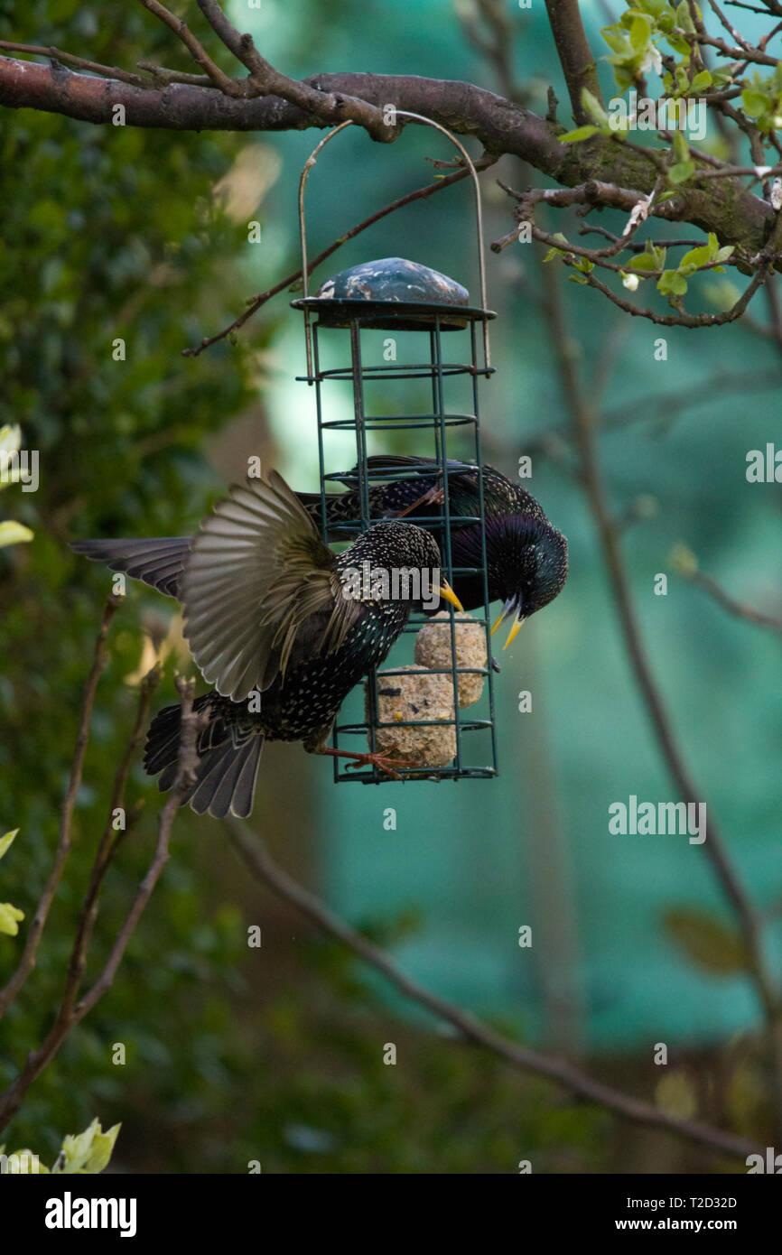 Starling comer forman un comedero para pájaros, East Coast, Lincolnshire, Reino Unido Foto de stock