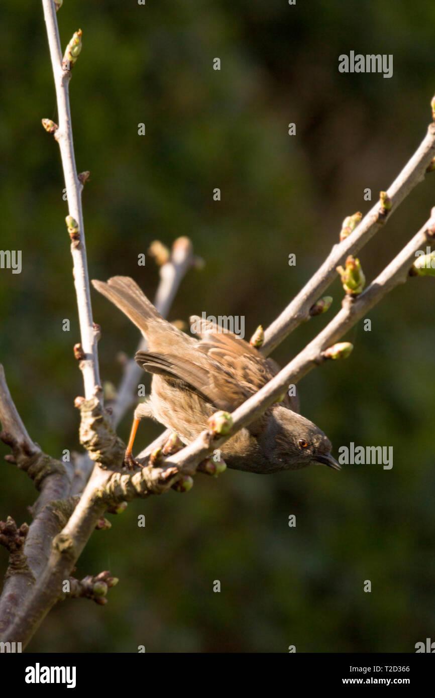 Sparrow encaramado en un árbol, en la costa oriental, Lincolnshire, Reino Unido Foto de stock