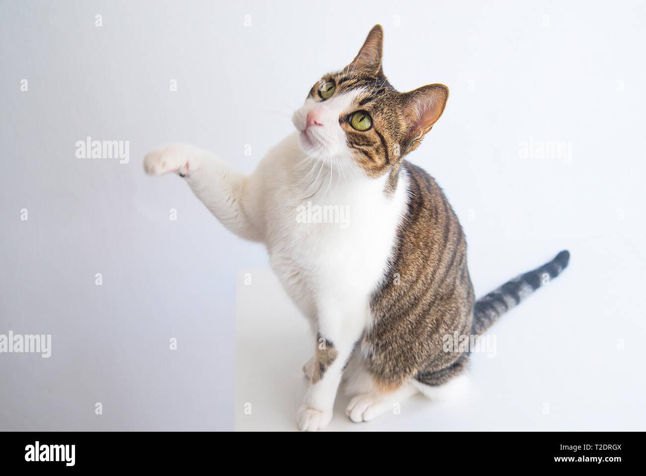 Atigrado y gato blanco aumento su pata delantera. Foto de stock