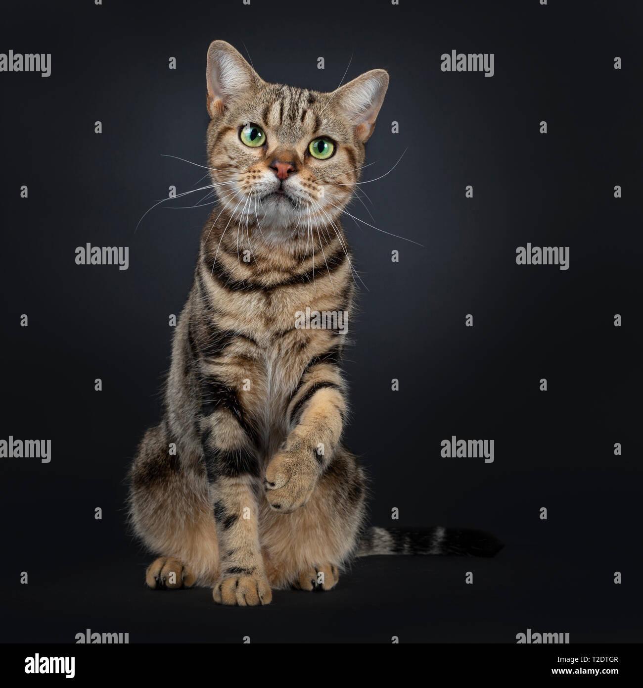 Lindo y excelente brown tabby American Shorthair gato sentado mirando hacia delante. Mirando directamente en la cámara con el verde de los ojos amarillos. Uno paw arriba como las sacudidas Foto de stock