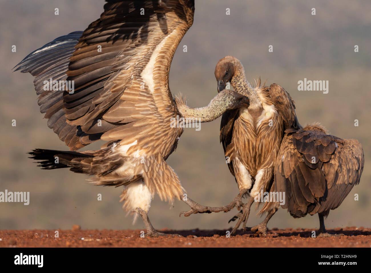Blanco respaldado los buitres, Gyps africanus, en confrontación, Zimanga Private Game Reserve, KwaZulu-Natal, Sudáfrica Imagen De Stock