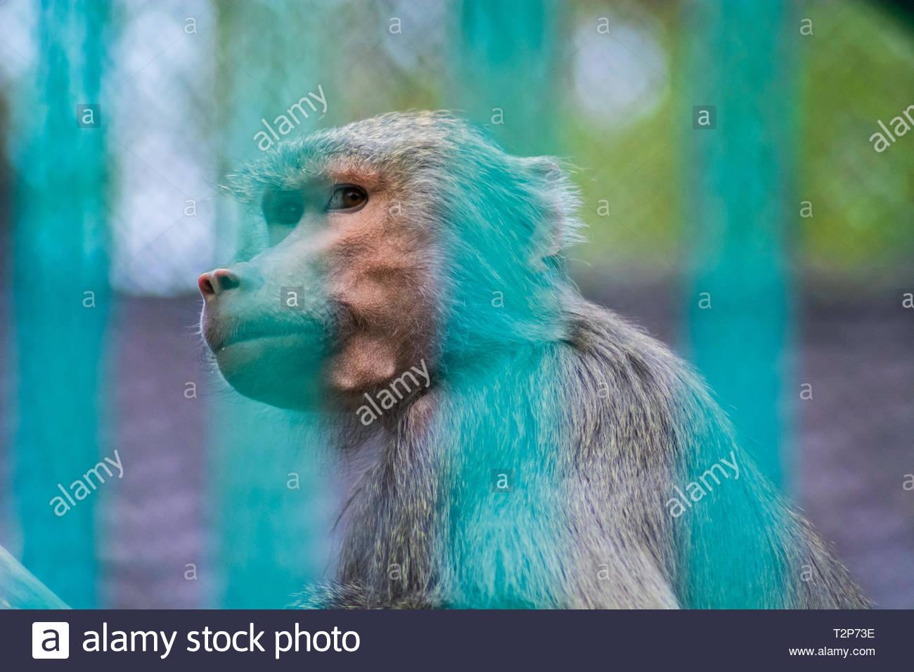 Retrato de un triste mono mirando a través de las barras de la jaula en un zoológico. Concepto de los derechos de los animales, la cautividad , infelicidad y miseria.Jaimico. Foto de stock