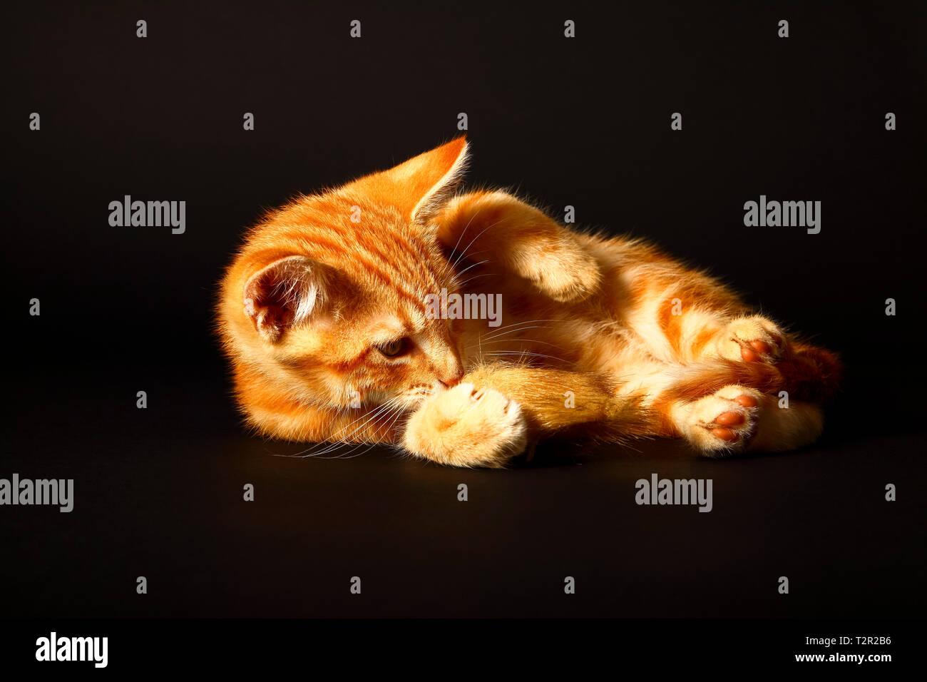 Potrait de un lindo ginger atigrado gatito jugando con un ratón de juguete aislado en un fondo negro Foto de stock